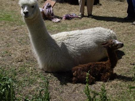 Miss Daisy with her newborn cria